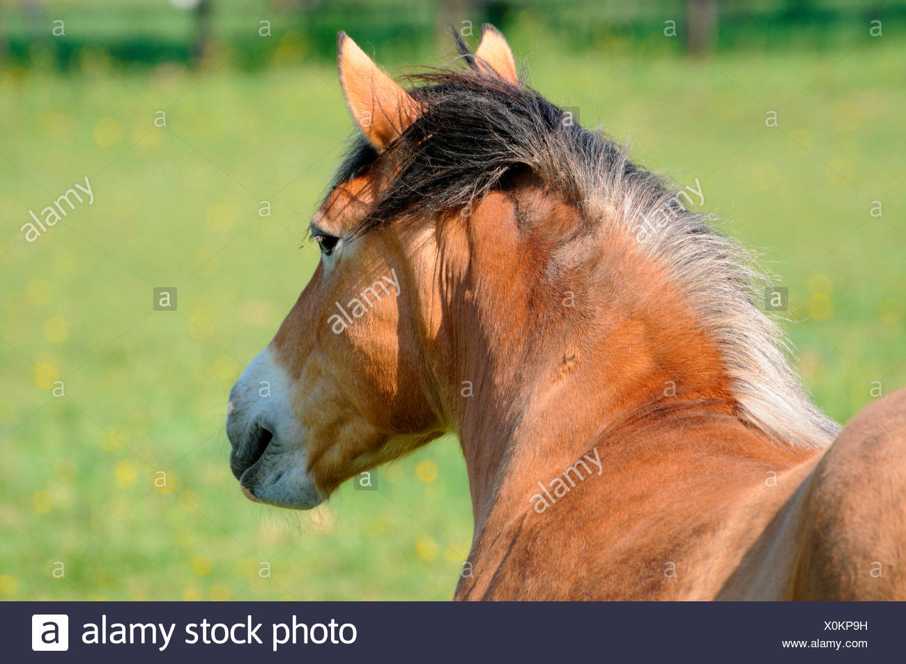 Draft Horse / Draught Horse, neck, withers, mane - Stock Image