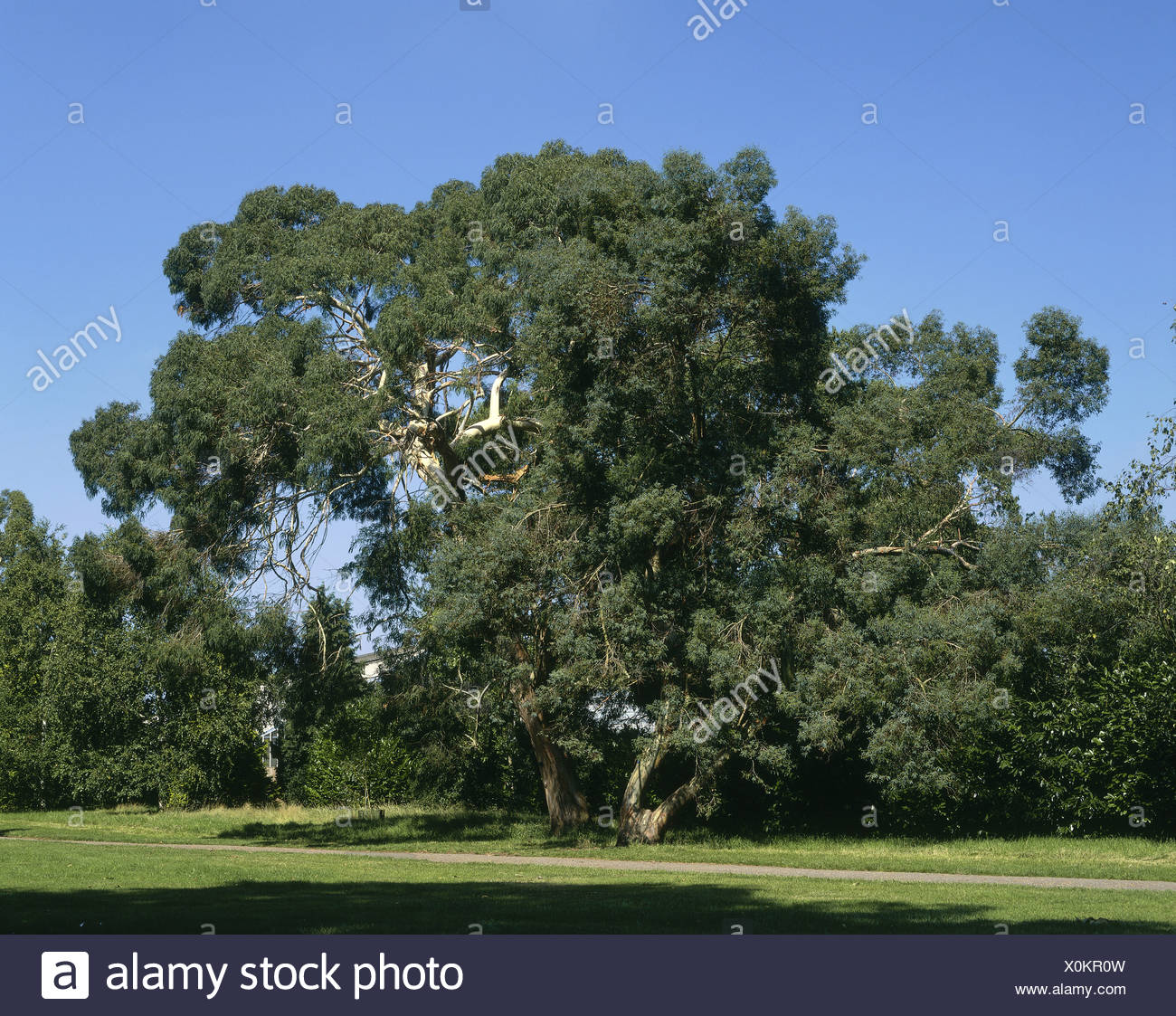 botaniy, Eucalyptus parvifolia, 'Small leaved Gum' at Kew Gardens, London, Great Britain, Additional-Rights-Clearance-Info-Not-Available - Stock Image