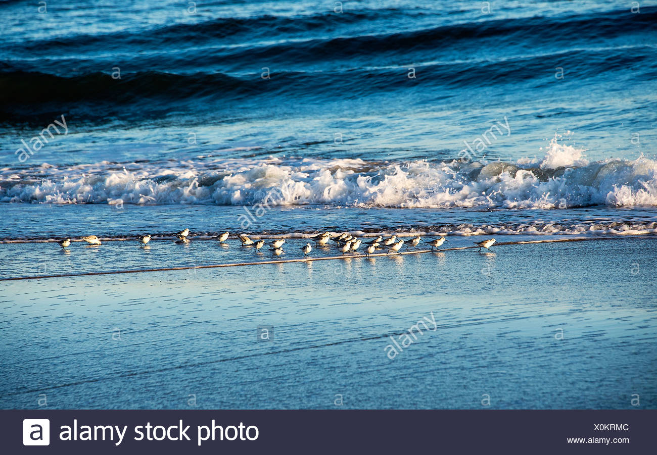 Sandpipers searching for a meal. - Stock Image
