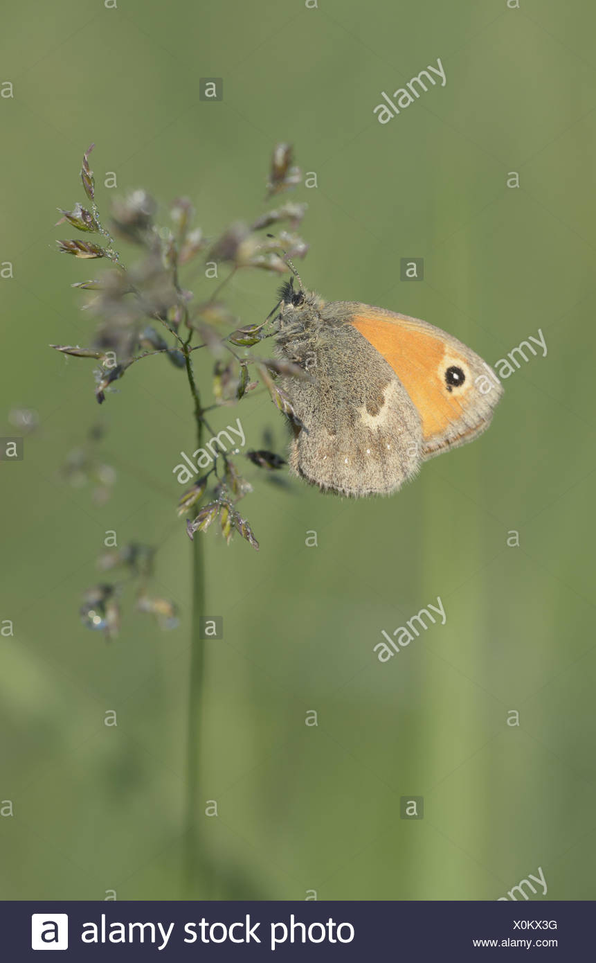 Small Heath (Coenonympha pamphilus) - Stock Image