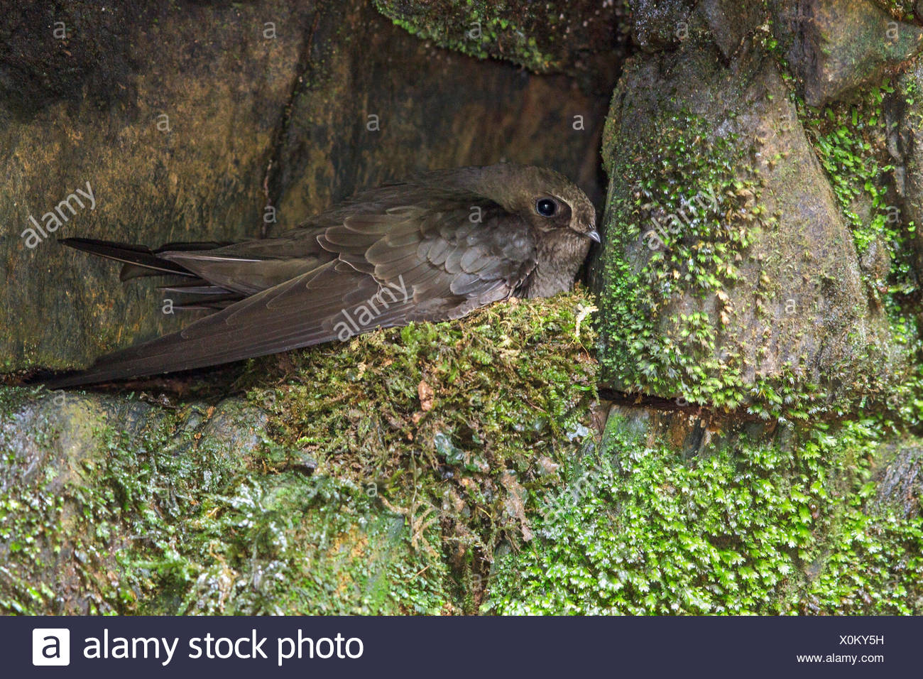 Sooty Swift (Cypseloides fumigatus) nesting on a cliff in the Atlantic rainforest of southeast Brazil. - Stock Image