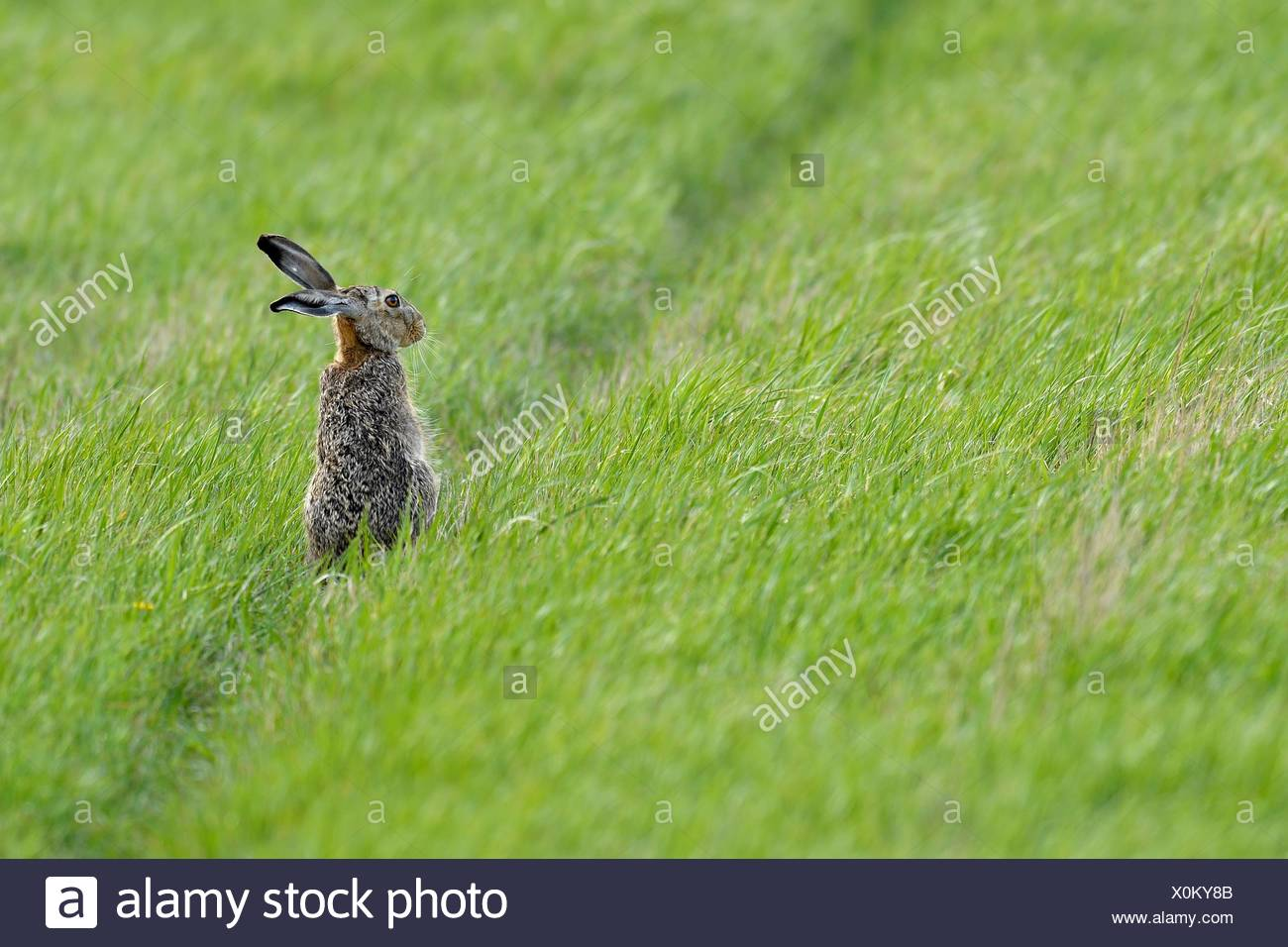 European hare (Lepus europaeus), located in Wiese, Lake Neusiedl National Park, Burgenland, Austria - Stock Image