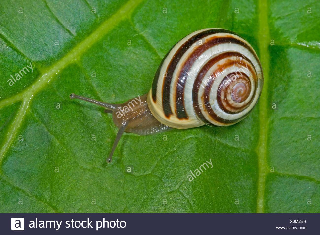 White-lip gardensnail, White-lipped snail, Garden snail, Smaller banded snail (Cepaea hortensis), banded snail on a leaf, Germany - Stock Image