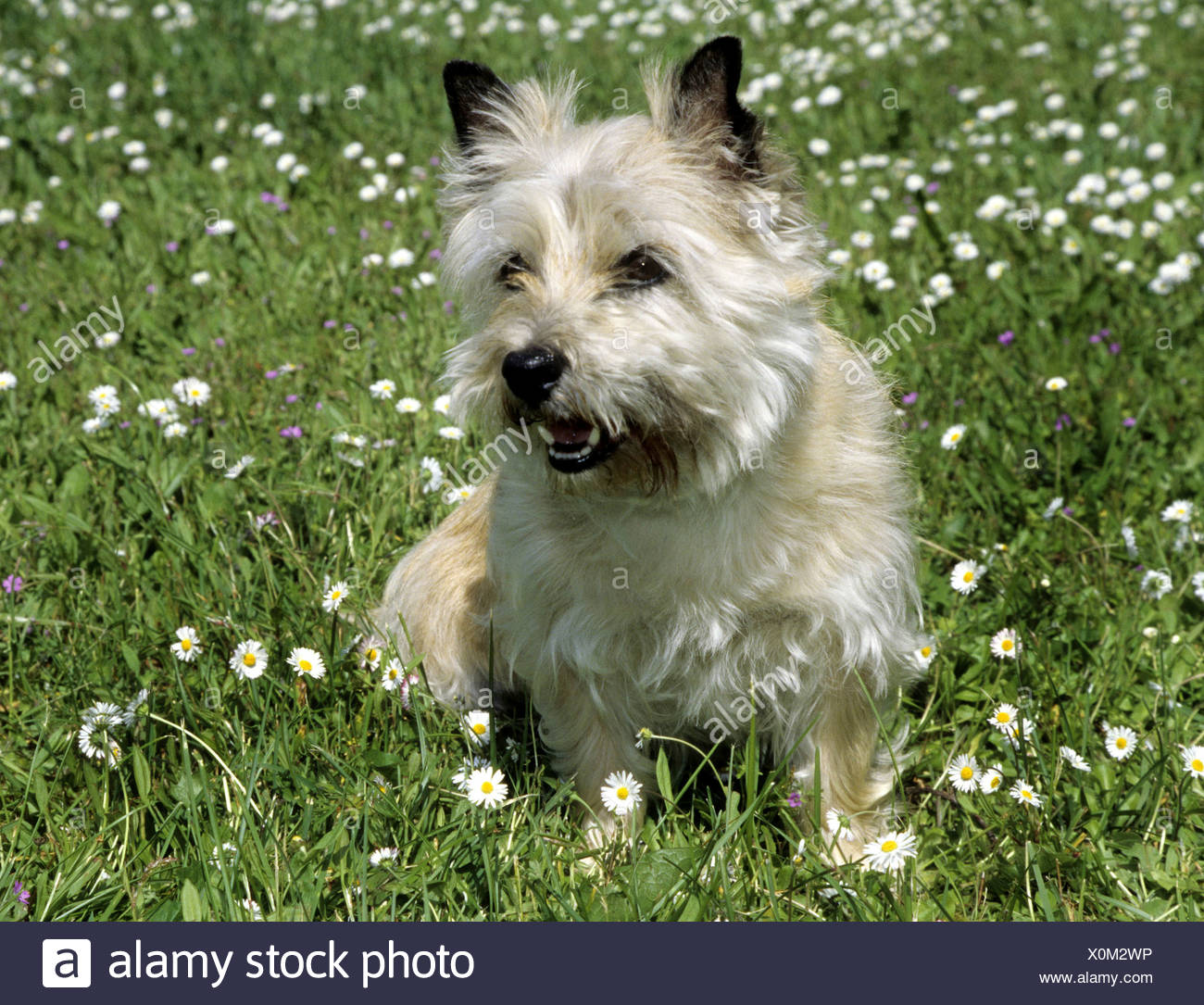 Border Terrier snarling in a field - Stock Image