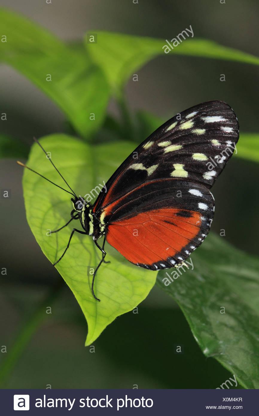 Tiger-Passionsblumenfalter, - Stock Image
