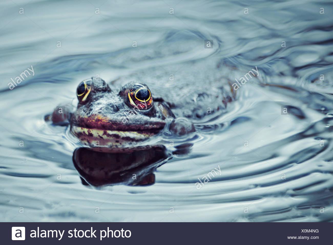 Frog swimming in pond, Zagreb, Croatia - Stock Image
