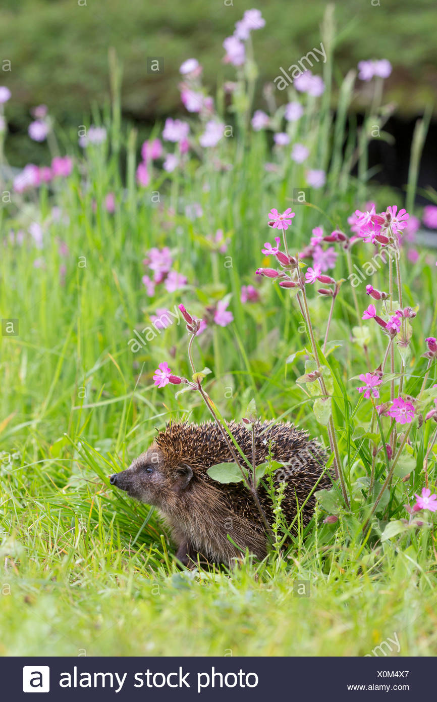 hedgehog in early spring with campion flowers - Stock Image