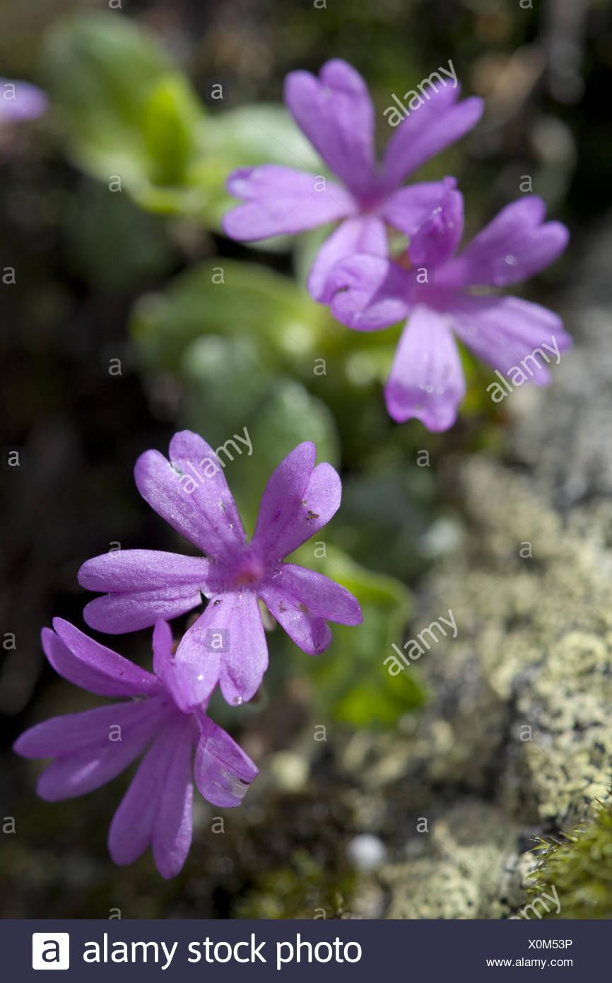 entire-leaved primrose, primula integrifolia - Stock Image