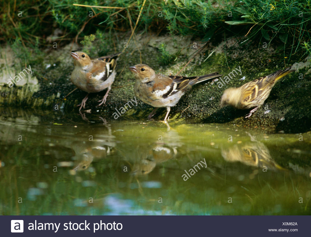 Siskin and chaffinch, Sweden. - Stock Image