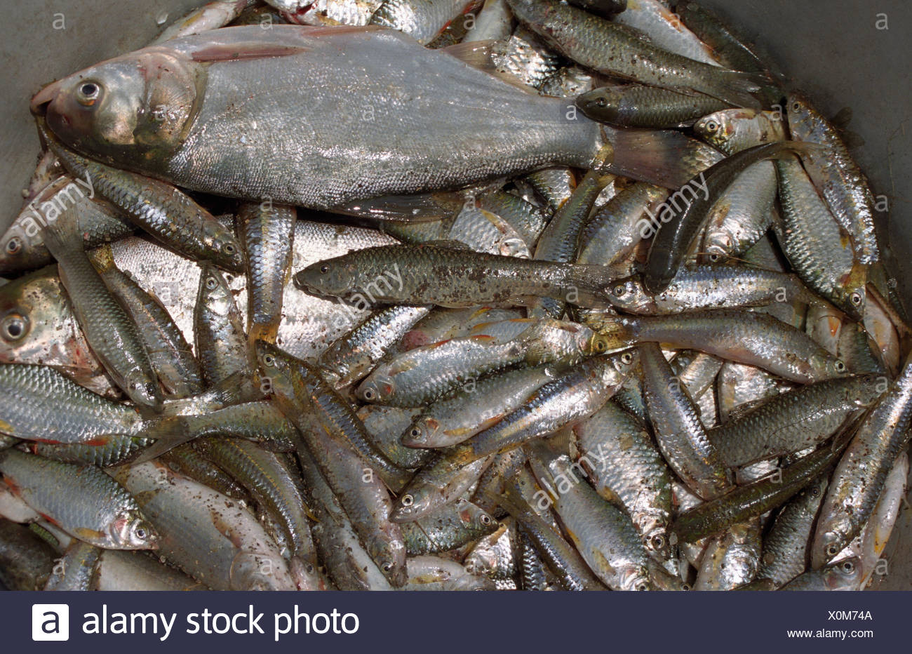 Fish catch from lake Talegoan, Pune India - Stock Image