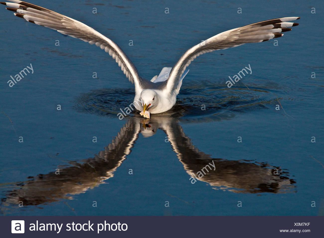 Reflection of Kittiwake Gull landing in water at Potter Marsh - Stock Image