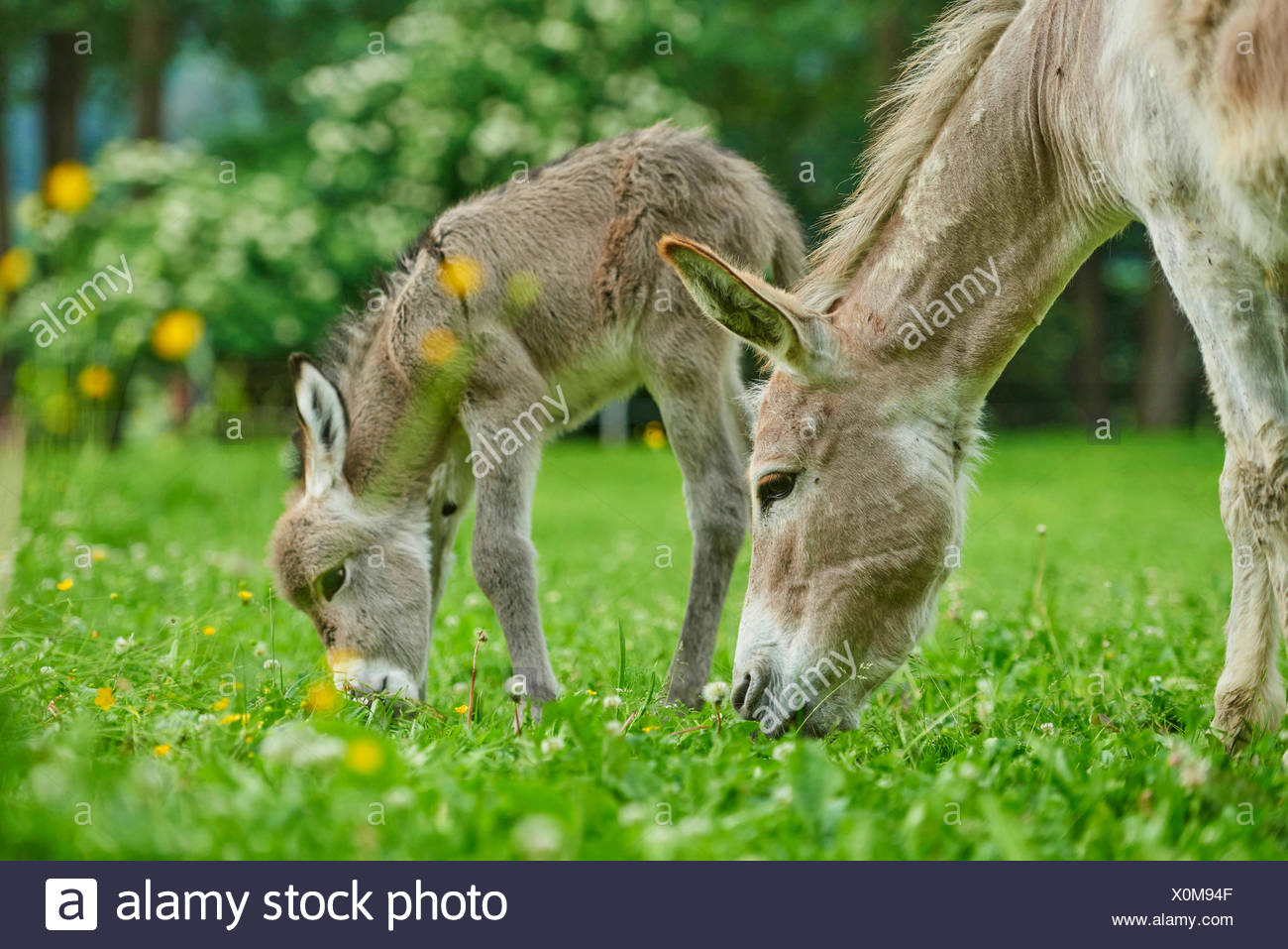 Domestic donkey (Equus asinus asinus), eight hours old donkey foal with mother in a meadow, Germany - Stock Image