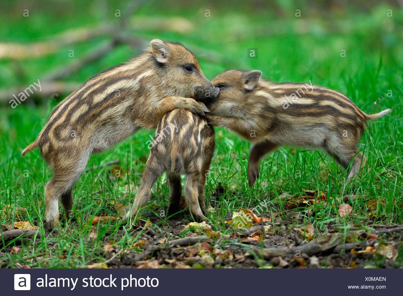 Shoats, boars (Sus scrofa), playing - Stock Image