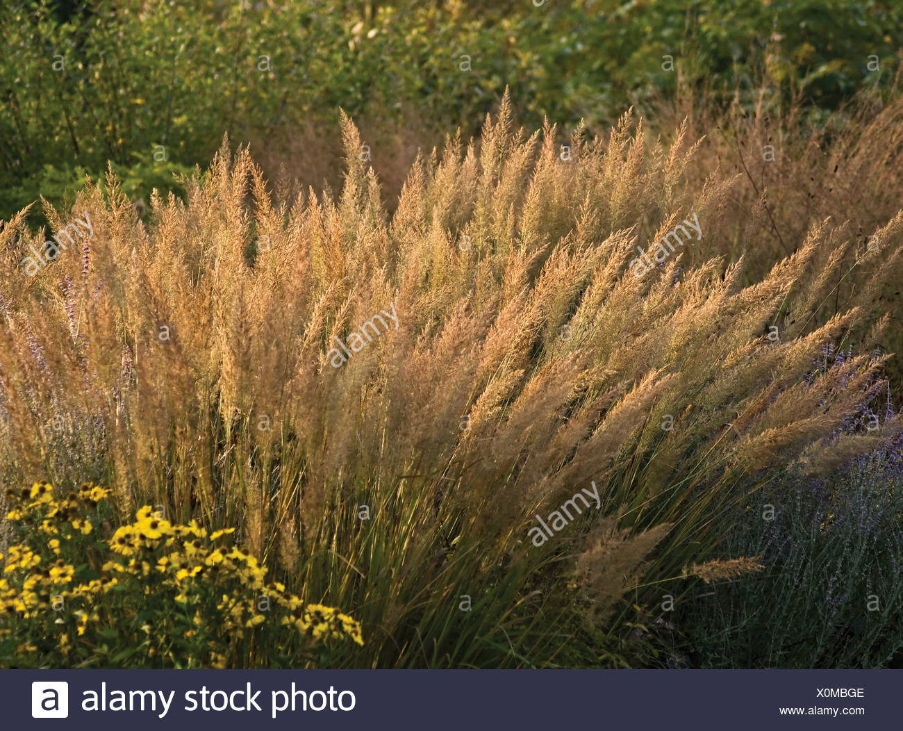 Calamagrostis brachytricha, Korean feather reed grass with flowering panicles on long stems. - Stock Image