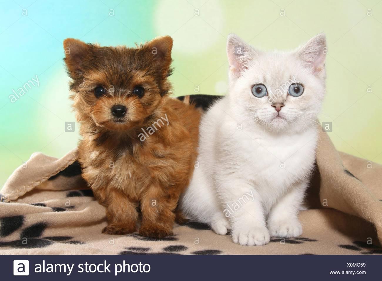 Yorkshire Terrier With Short Hair The Best Short Hair 2018