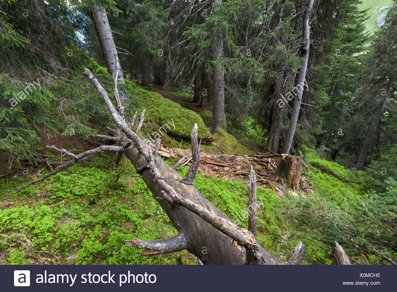 Primeval forest, forest, Scatlé, Switzerland, Europe, canton, Graubünden, Grisons, Surselva, trees, spruces, dead wood - Stock Image