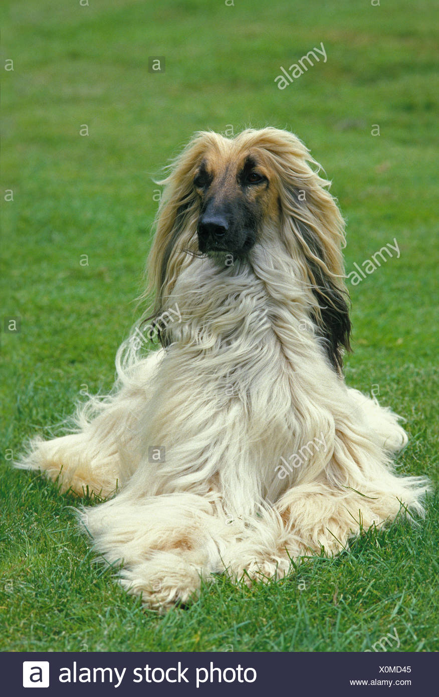 Afghan Hound, Adult Dog laying on Lawn Stock Photo