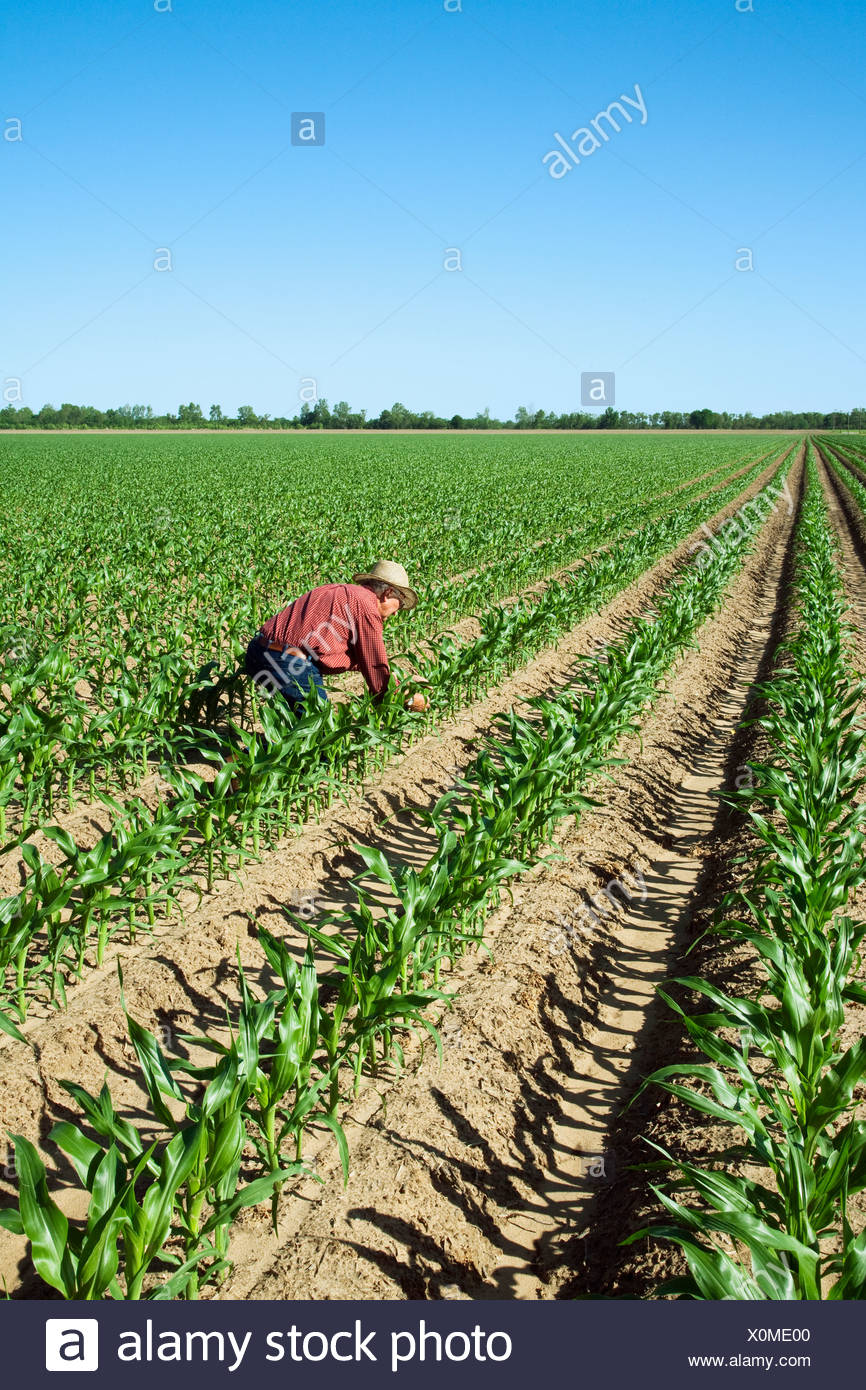 Agriculture - A farmer (grower) examines his crop of early growth grain corn plants at the ten leaf stage / England, Arkansas. - Stock Image