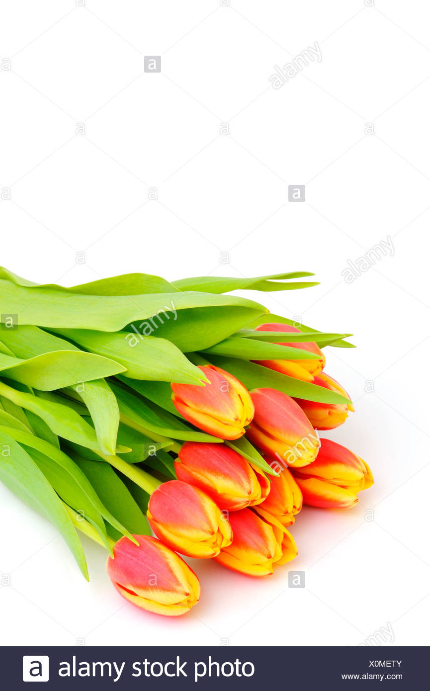 Tulips (Tulipa) Stock Photo