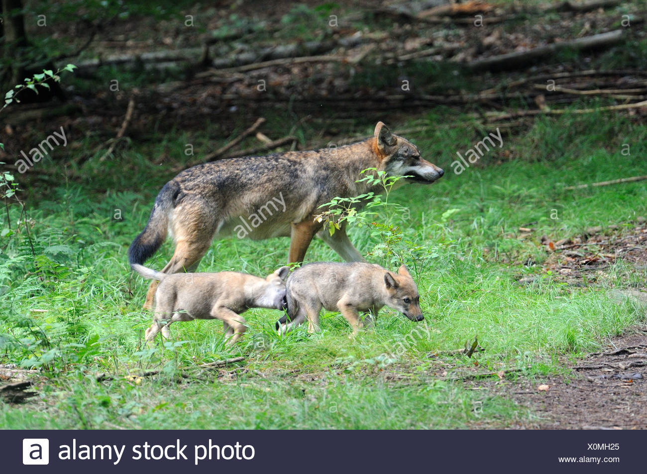 European grey wolf adult with pups aged 2 months old Canis lupus captive, Bayerischerwald National Park, Germany - Stock Image