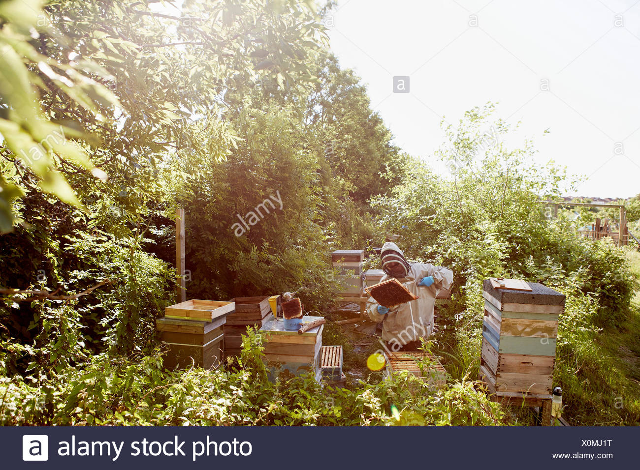 A beekeeper in a protective suit and face covering inspecting the frames in his bee hives. - Stock Image