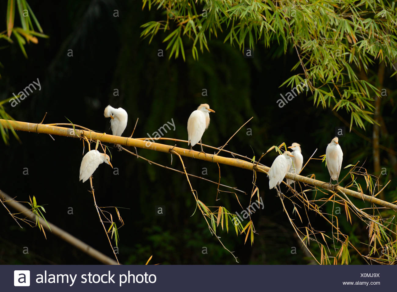 Central America, Costa Rica, Osa Peninsula, Corcovado, National Park, coastal forest, forest, bamboo, bird, egret, flock, Puntar - Stock Image
