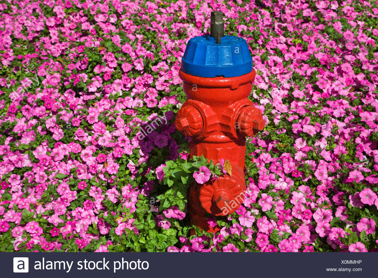 Fire hydrant and pink flowers - Stock Image