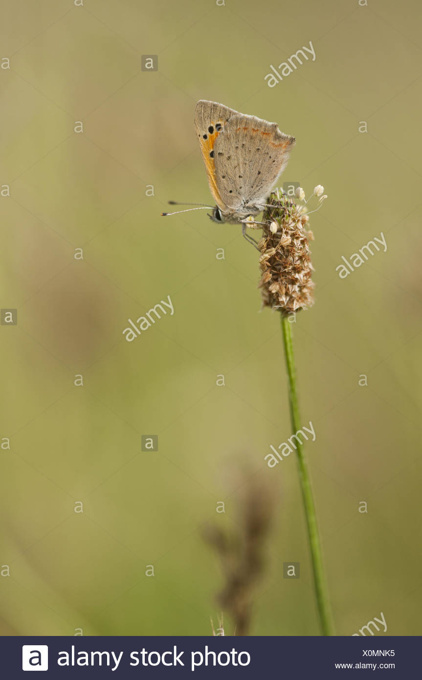Small Copper (Lycaena phlaeas), Germany - Stock Image