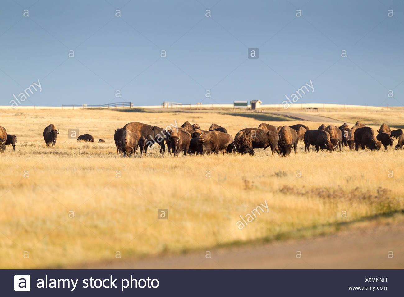 Plains Bison (Bison bison bison) grazing in Grasslands National Park, Saskatchewan, Canada - the Bison roam freely in the park Stock Photo