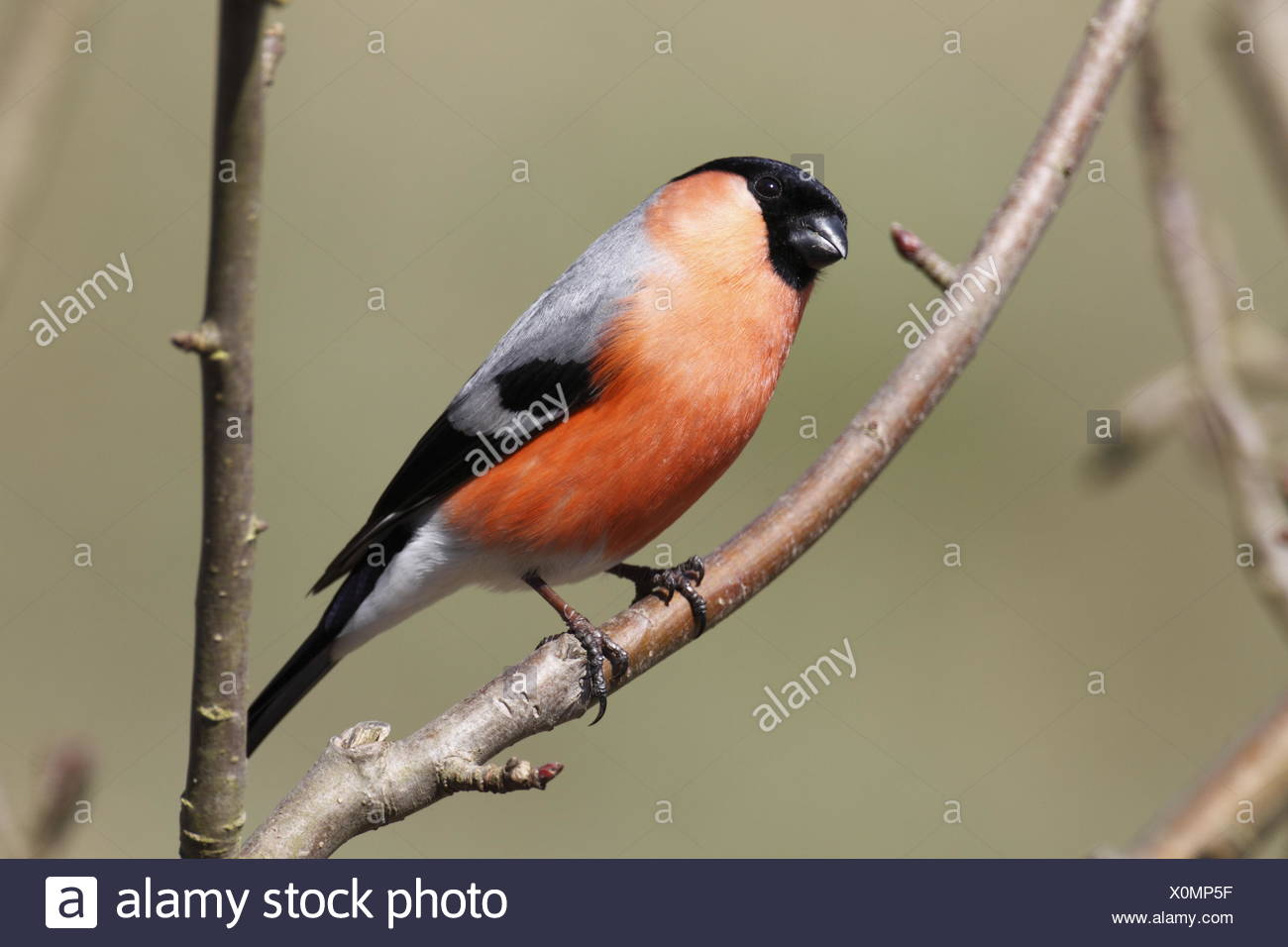 Common bullfinch male Stock Photo