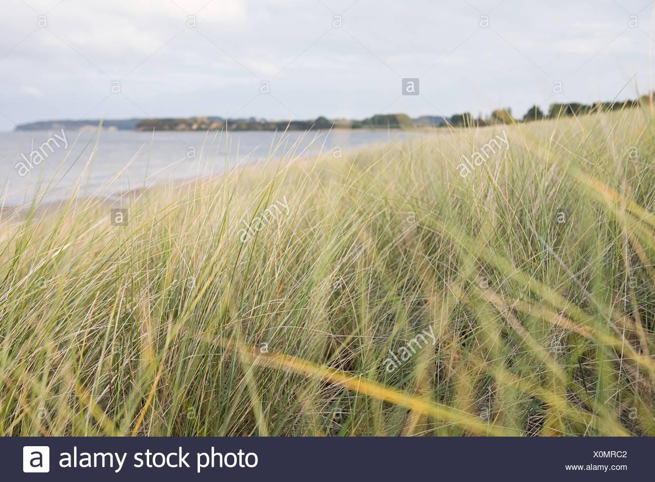 Marram grass near the sea - Stock Image
