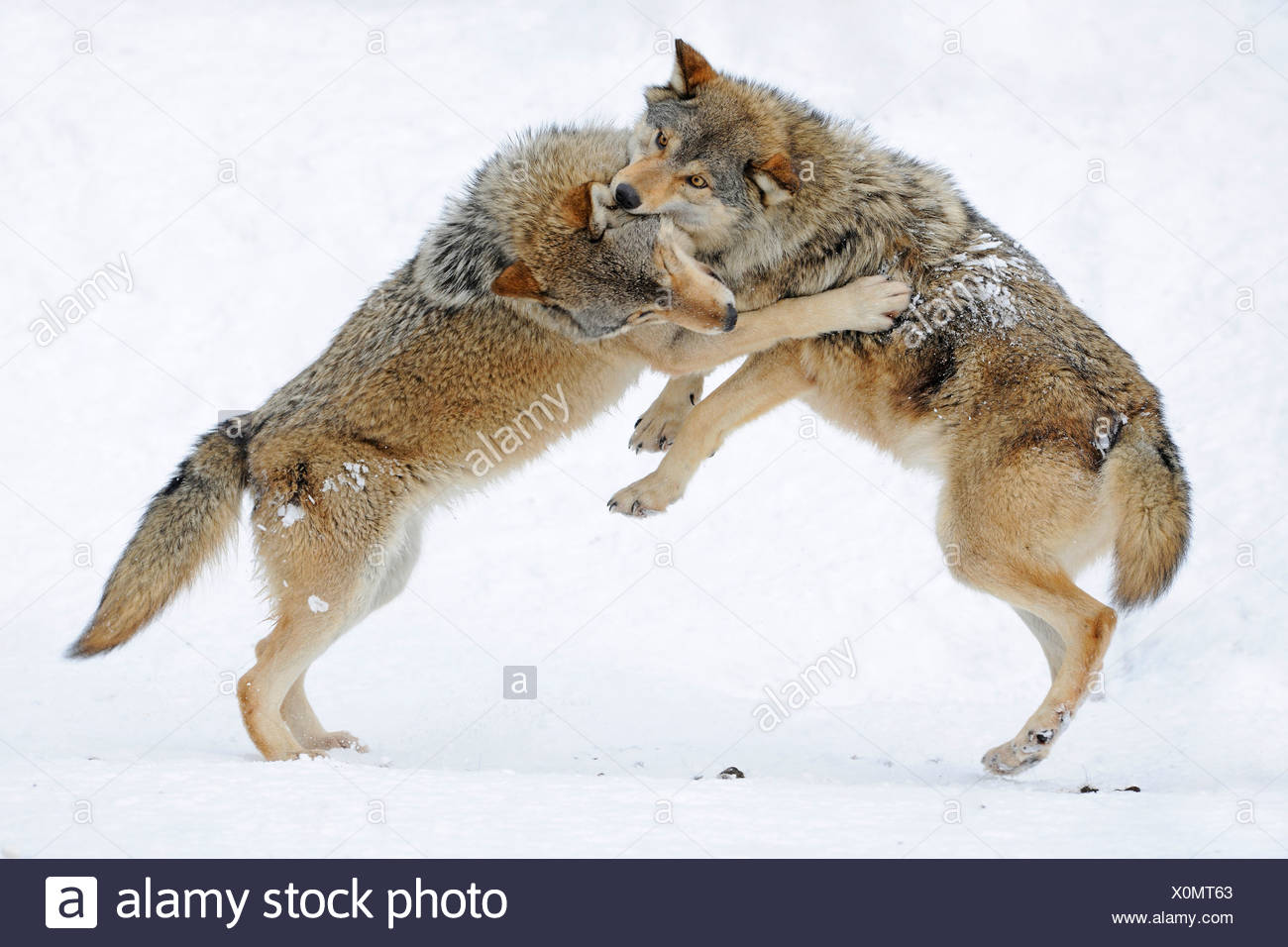Fighting, playing wolves, cub, Mackenzie Wolf, Alaskan Tundra Wolf or Canadian Timber Wolf (Canis lupus occidentalis) in the - Stock Image