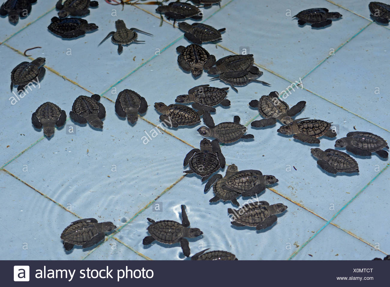 Olive ridley sea turtles (Lepidochelys olivacea) hatchlings, approx. one month, breeding station, Bali, Indonesia Stock Photo