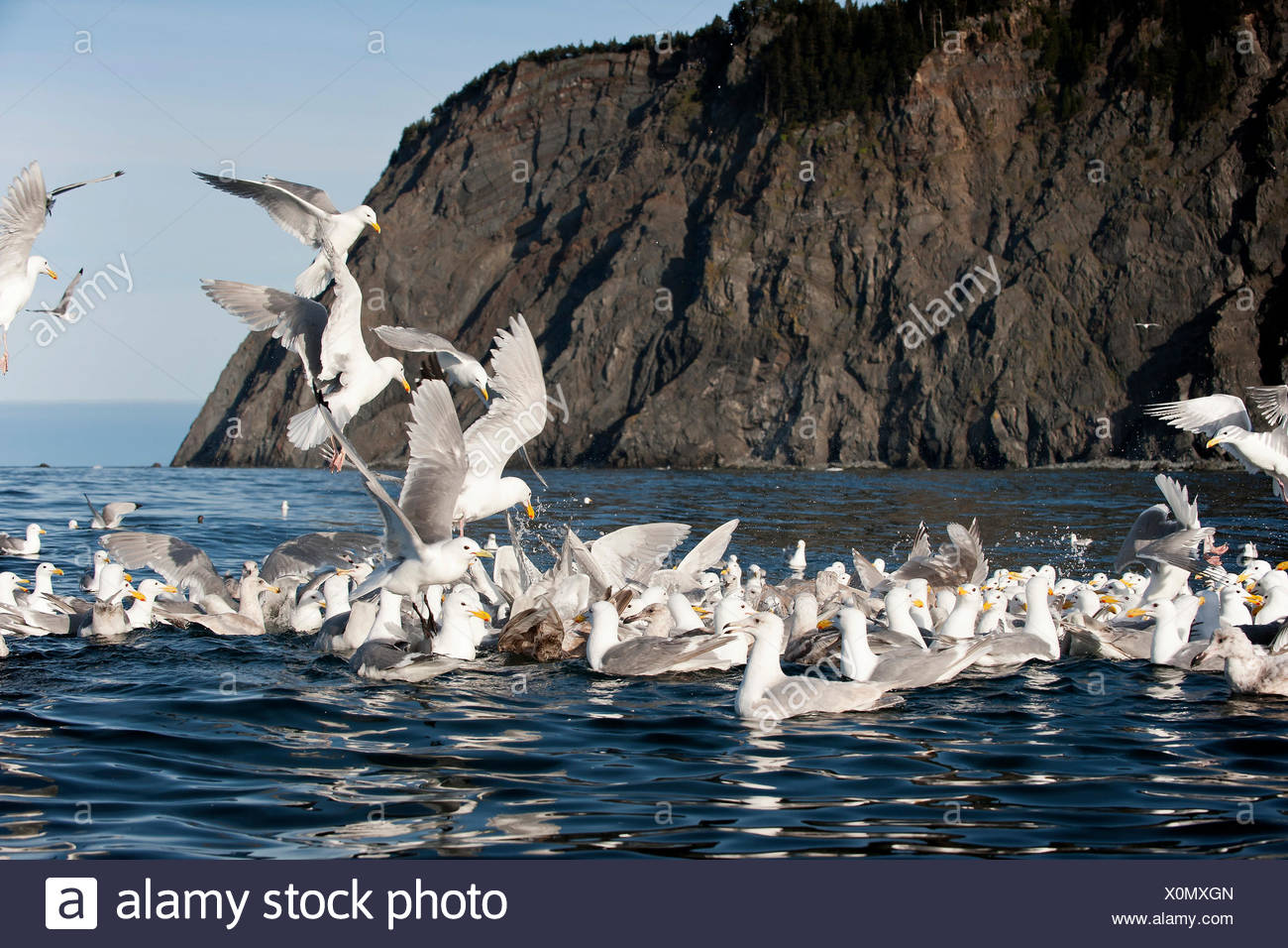 Glaucous-winged gulls (Larus glaucescens) feed at Gore Point, Alaska - Stock Image