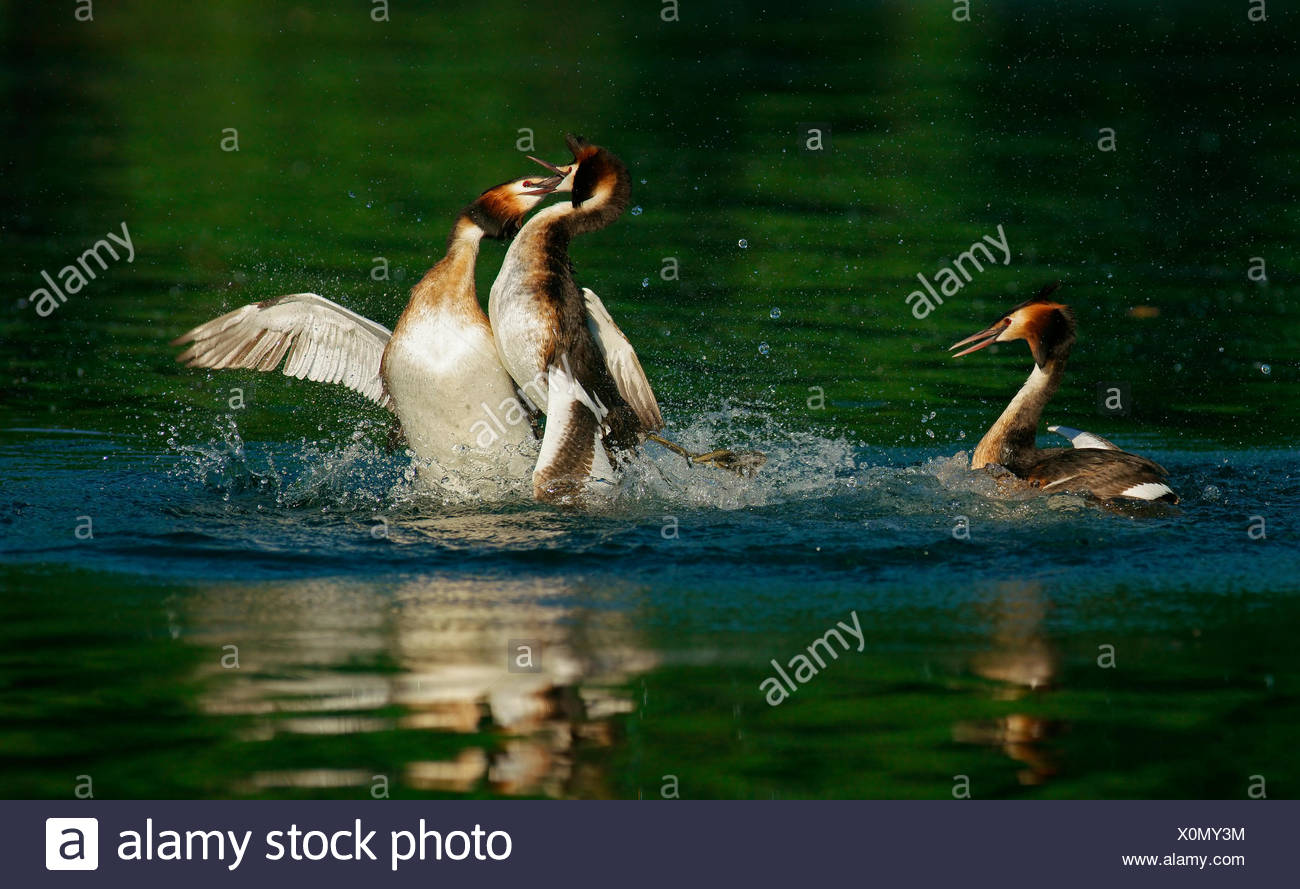 Great crested grebes (Podiceps cristatus), district combat, Feldberger Seenlandschaft, Mecklenburg-Western Pomerania, Germany - Stock Image