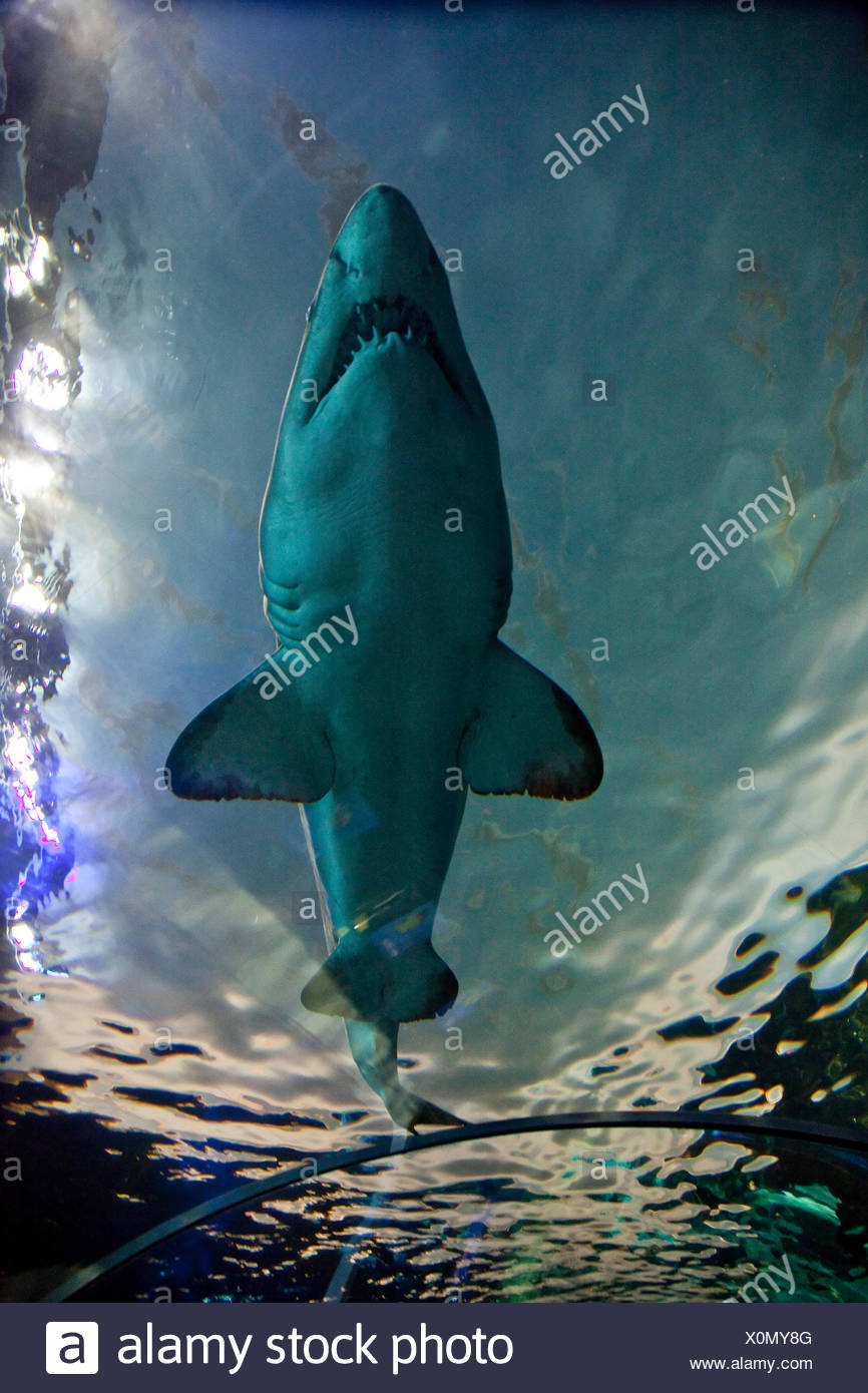 Shark swims by in Dangerous Lagoon at Riply's Aqarium of Canada at base of CN Tower, Toronto, Canada - Stock Image