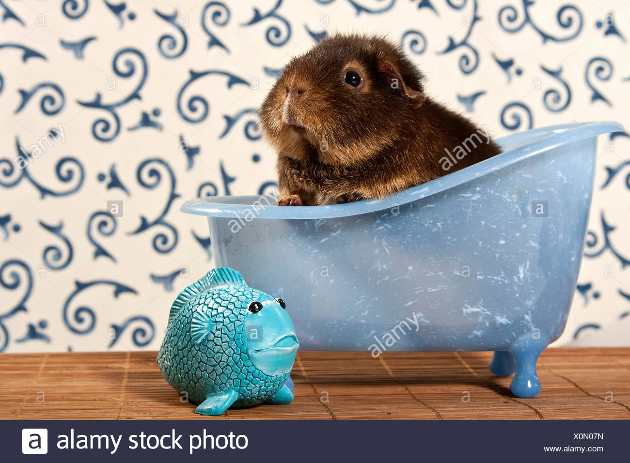 US teddy guinea pig in mini bathtub, next to a little plastic fish ...
