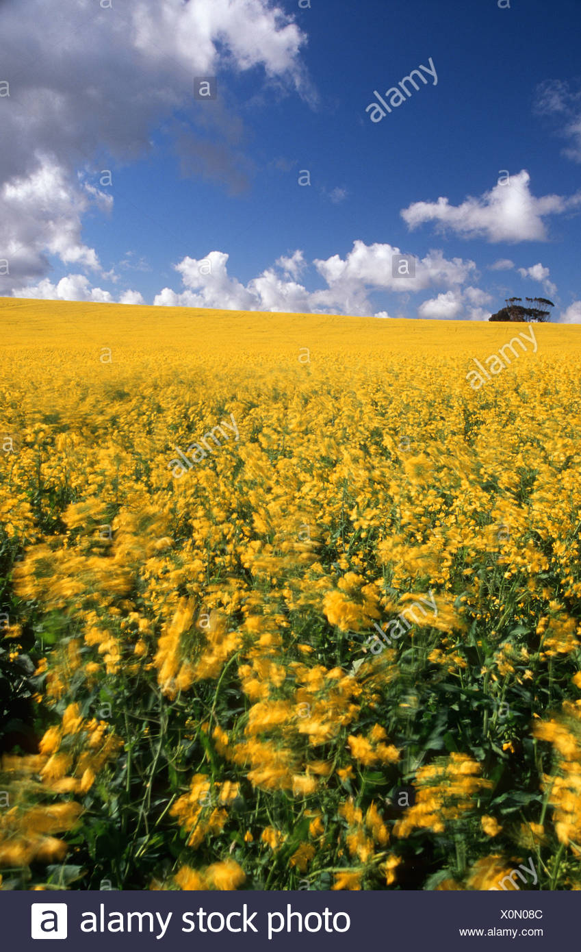 A Field Of Yellow Canola Flowers Blowing In The Wind Stock Photo