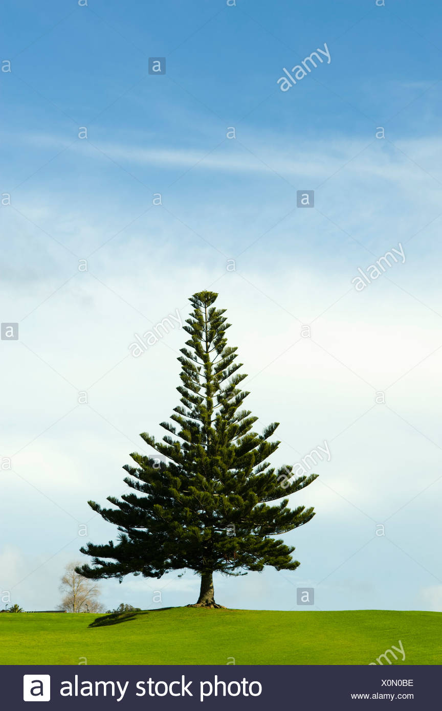 A Coniferous Tree At The Top Of A Hill - Stock Image