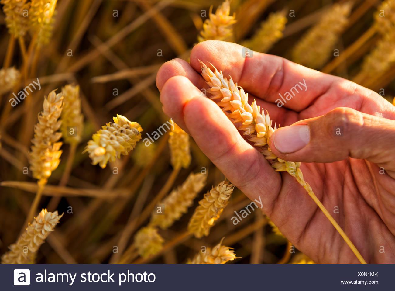 Hand holding ripe wheat, close-up - Stock Image