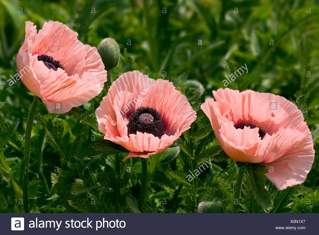 A natural shot of three pink poppies stock photo 275828399 alamy a natural shot of three pink poppies mightylinksfo