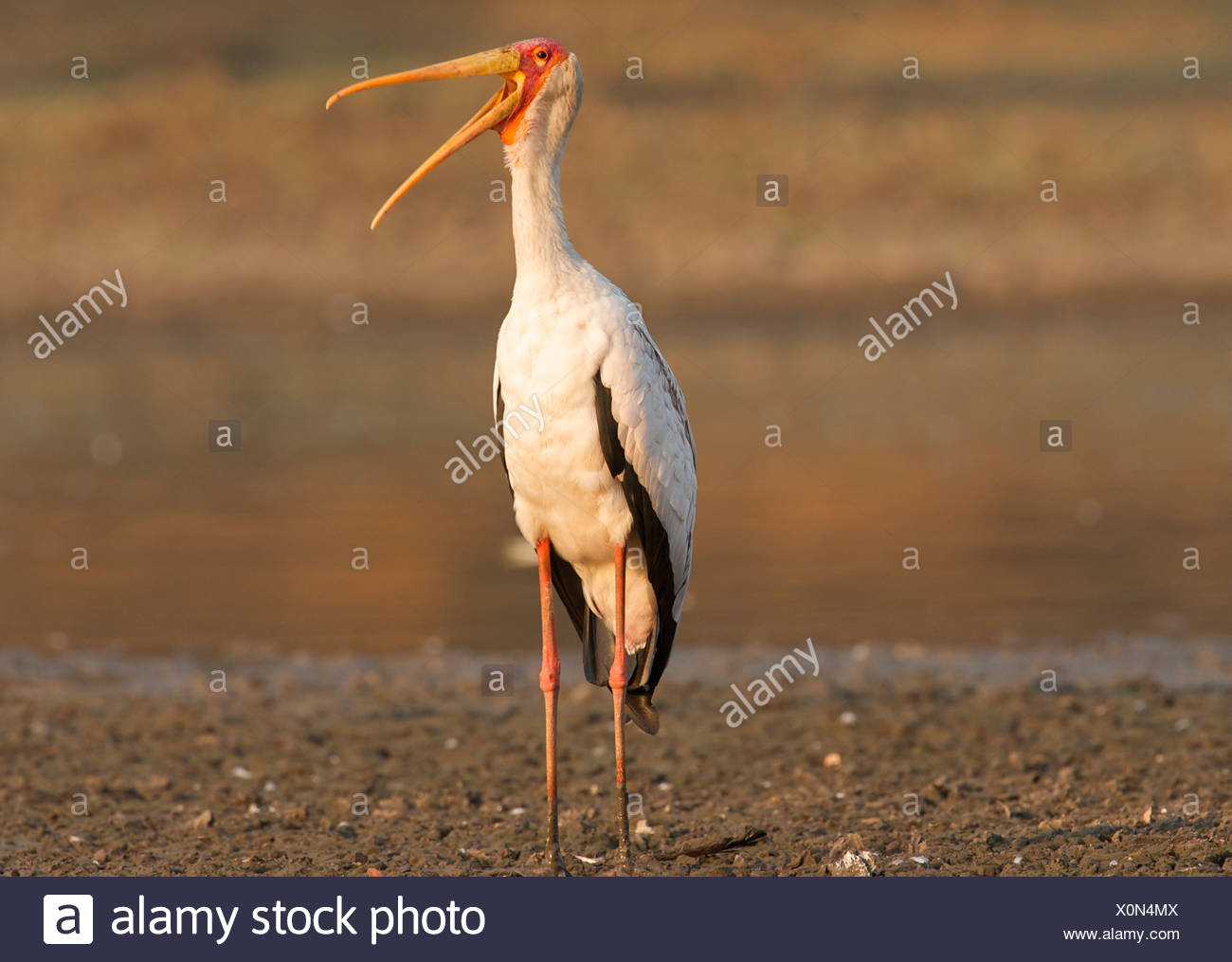 Yellow billed stork - Mycteria ibis, Mana Pools National Park, Zimbabwe, Africa Stock Photo