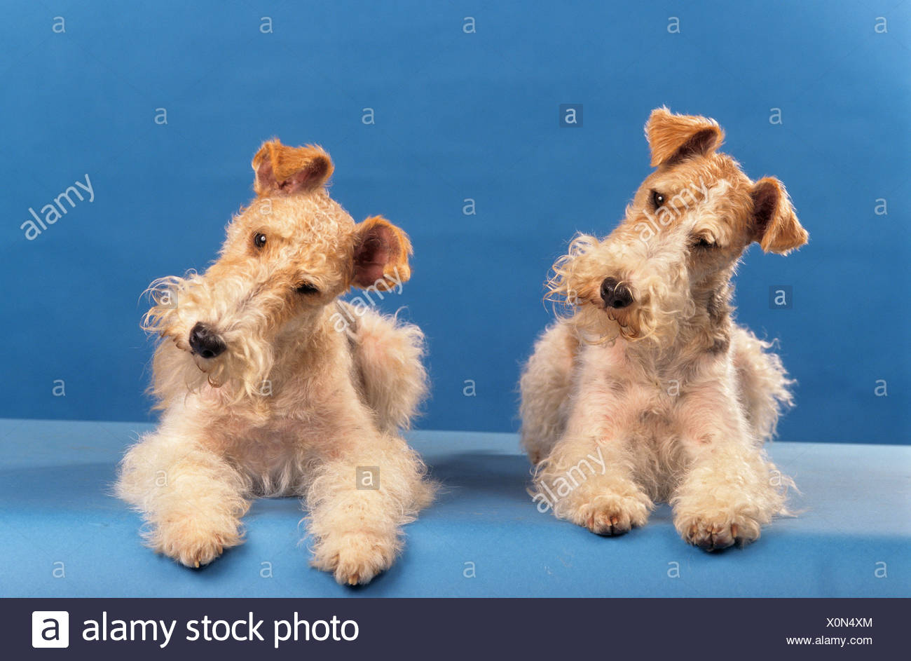 two Wirehaired Fox Terrier dogs - lying Stock Photo: 275830764 - Alamy