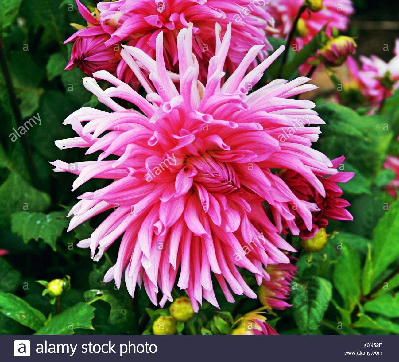 Close-Up Of Pink Flowers And Leaves - Stock Image