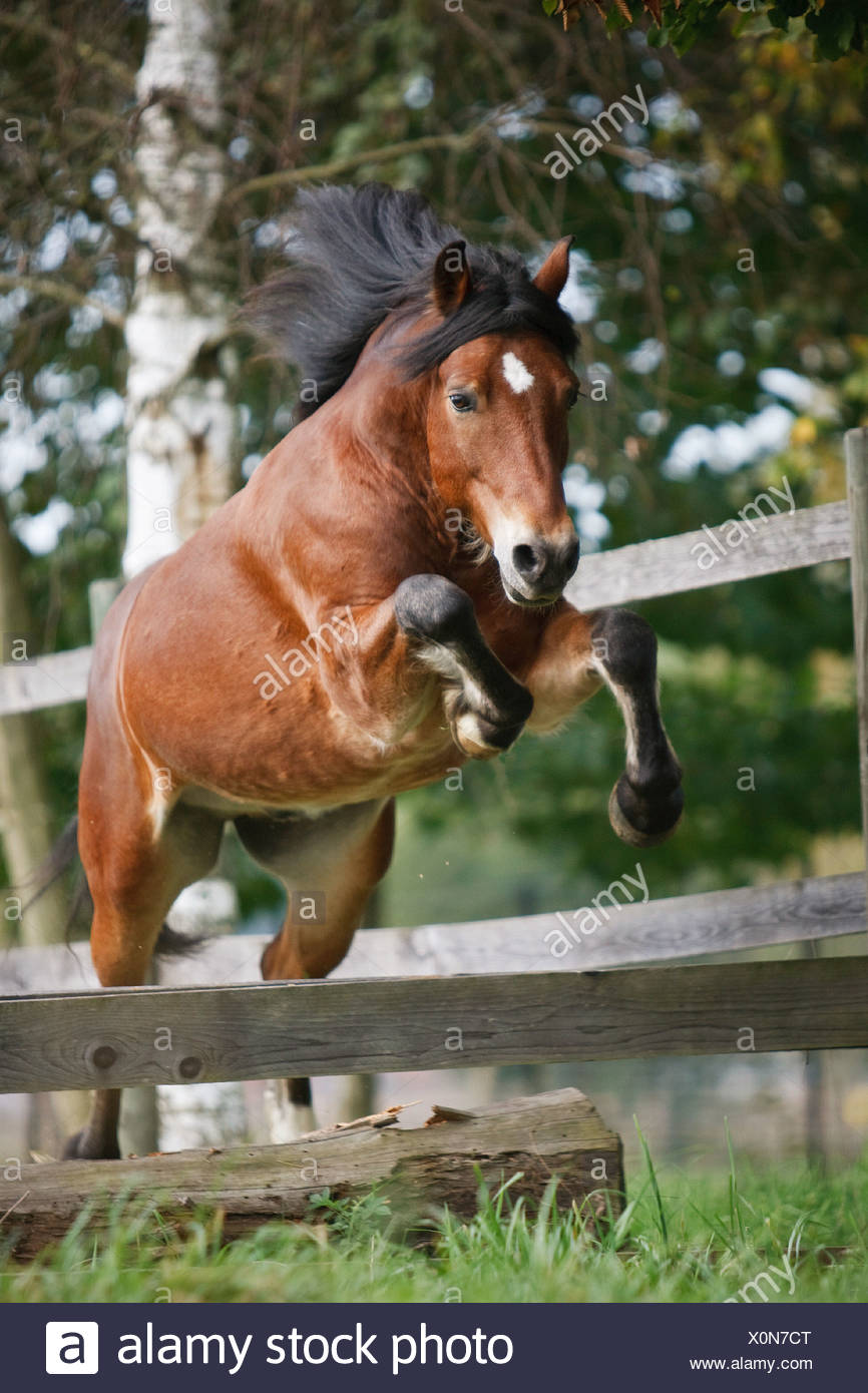 Welsh Cob Horse Jumping Over Hurdle Stock Photo Alamy