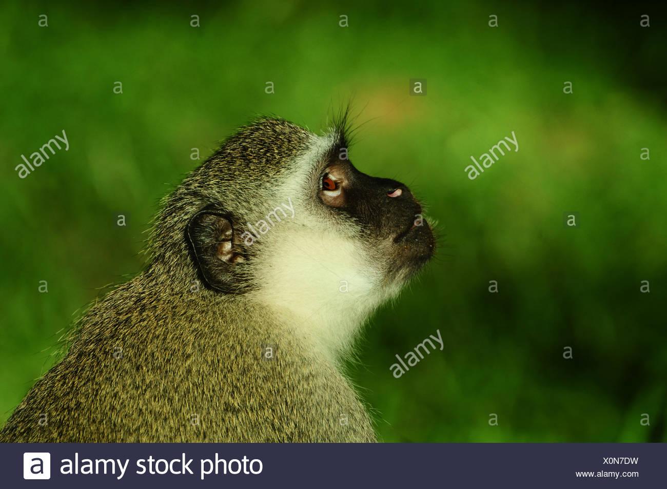 Vervet Monkey South Africa - Stock Image