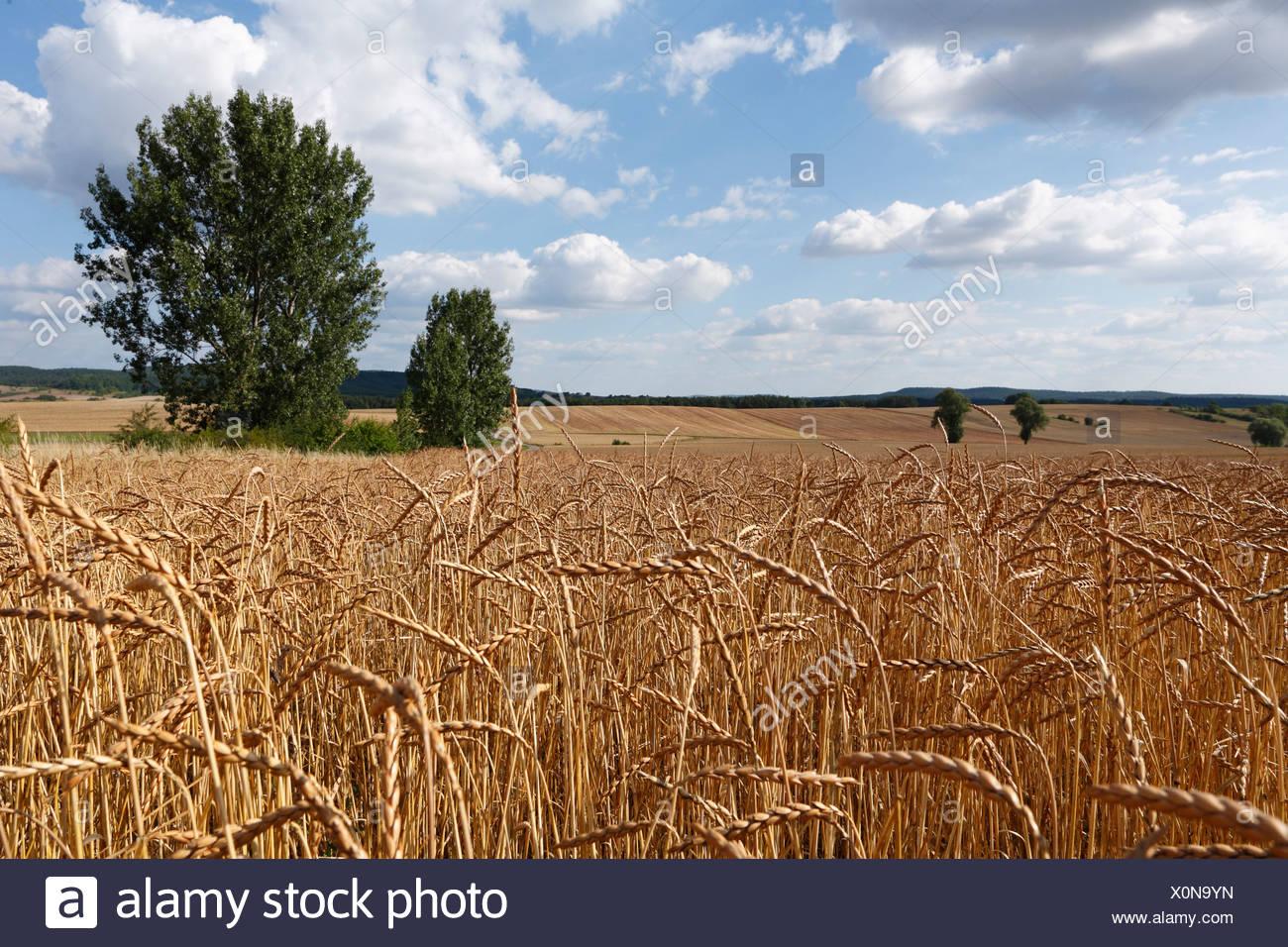 Wheat field near Alsleben, Trappstadt district, Rhoen-Grabfeld, Hass Mountains, Lower Franconia, Germany, Europe - Stock Image