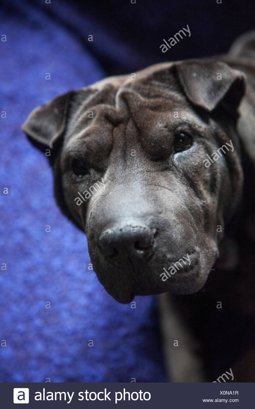 Dog, shar-pei - Stock Image