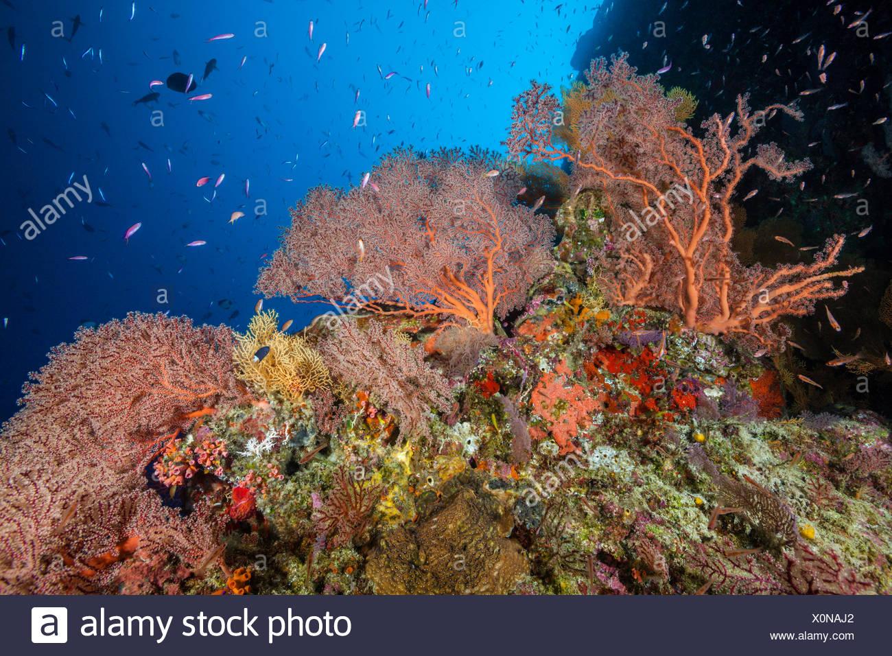 Coral Reef of Sea Fans, Gorgonaria, Christmas Island, Australia Stock Photo