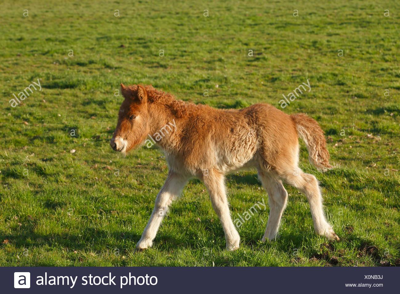 Foal, Icelandic horse, pony (Equus przewalskii f. Caballus), colt, Lower Saxony, Germany - Stock Image